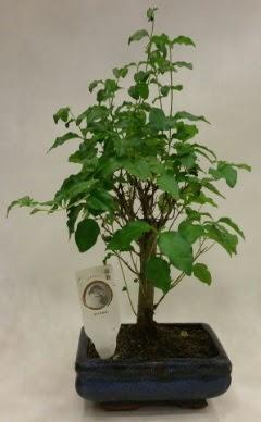 Minyatür bonsai japon ağacı satışı  Iğdır Karaağaç internetten çiçek satışı