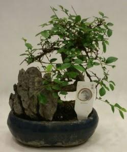 İthal 1.ci kalite bonsai japon ağacı  Iğdır 7 kasım çiçekçiler