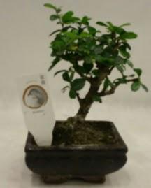 Küçük minyatür bonsai japon ağacı  Iğdır Söğütlü çiçek siparişi sitesi