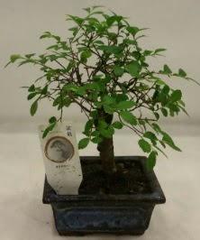 Minyatür ithal japon ağacı bonsai bitkisi  Iğdır 7 kasım çiçekçiler