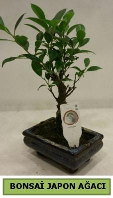 Bonsai japon ağacı saksı bitkisi  Iğdır Aralık İnternetten çiçek siparişi