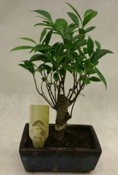 Japon ağacı bonsai bitkisi satışı  Iğdır Karaağaç internetten çiçek satışı