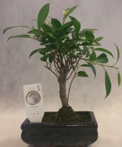 Bonsai japon ağacı bitkisi satışı  Iğdır 14 kasım hediye çiçek yolla