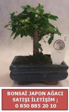 Japon ağacı minyaür bonsai satışı  Iğdır 7 kasım çiçekçiler