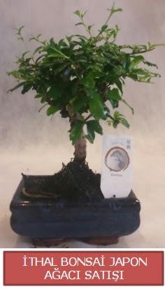 İthal küçük boy minyatür bonsai ağaç bitkisi  Iğdır Karaağaç internetten çiçek satışı