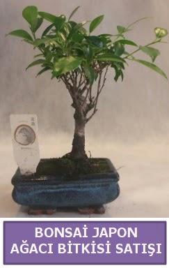İthal Bonsai japon ağacı bitkisi satışı  Iğdır Bağlar ucuz çiçek gönder