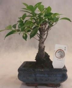 Bonsai ağacı japon ağaç bitkisi  Iğdır 12 eylül çiçekçi mağazası