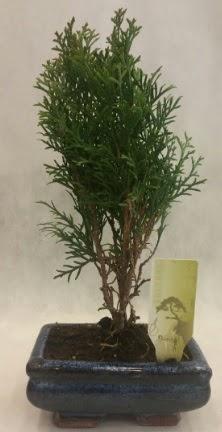 SINIRLI SAYIDA ÜRÜN Selvi Bonsai  Iğdır Bağlar ucuz çiçek gönder