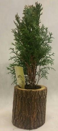 SINIRLI STOK Selvi Bonsai Doğal kütükte  Iğdır Bağlar ucuz çiçek gönder
