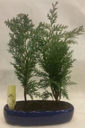 SINIRLI SAYIDA Selvi Ağacı bonsai ikili  Iğdır Karaağaç internetten çiçek satışı