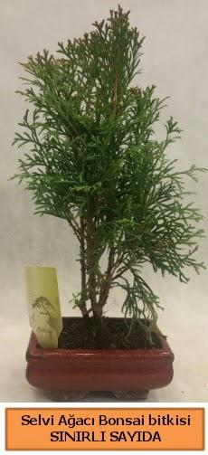 Selvi ağacı bonsai japon ağacı bitkisi  Iğdır 7 kasım çiçekçiler