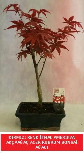 İTHAL ACER RUBRUM BONSAİ AĞACI  Iğdır 14 kasım hediye çiçek yolla