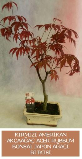 Amerikan akçaağaç Acer Rubrum bonsai  Iğdır Kasımcan kaliteli taze ve ucuz çiçekler