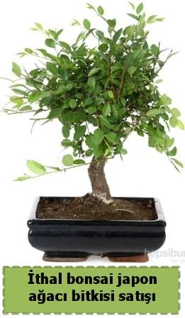 İthal bonsai saksı çiçeği Japon ağacı satışı  Iğdır Bağlar ucuz çiçek gönder