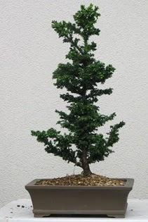 Çam ağacı bonsai bitkisi satışı  Iğdır Karaağaç internetten çiçek satışı