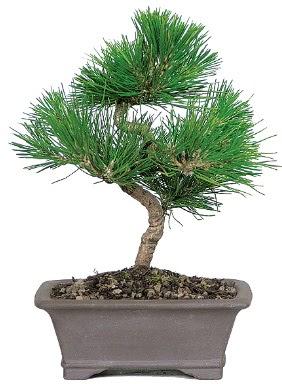 Çam ağacı bonsai japon ağacı bitkisi  Iğdır Söğütlü çiçek siparişi sitesi
