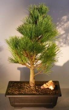 Çam ağacı japon ağacı bitkisi bonsai  Iğdır Karaağaç internetten çiçek satışı