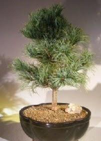 Çam ağacı bonsai bitkisi satışı  Iğdır Cumhuriyet çiçek siparişi vermek