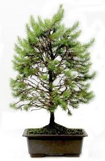 *** STOKTA YOK - Çam ağacı bonsai bitkisi satışı  Iğdır Yaycı çiçek mağazası , çiçekçi adresleri