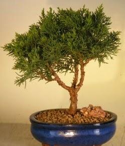 Servi çam bonsai japon ağacı bitkisi  Iğdır 12 eylül çiçekçi mağazası
