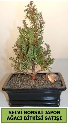Selvi çam japon ağacı bitkisi bonsai  Iğdır Karaağaç internetten çiçek satışı