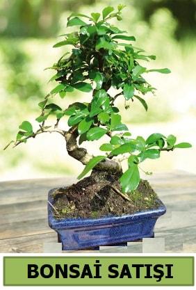 Çam bonsai japon ağacı satışı  Iğdır 7 kasım çiçekçiler