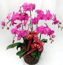 Sepet içerisinde 5 dallı lila orkide  Iğdır Cumhuriyet çiçek siparişi vermek