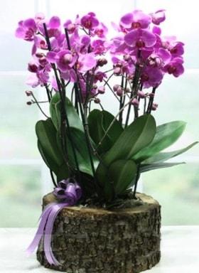 Kütük içerisinde 6 dallı mor orkide  Iğdır Cumhuriyet çiçek siparişi vermek
