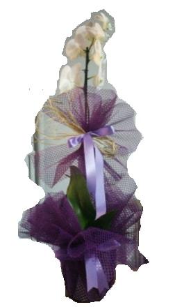 Tek dallı beyaz orkide süper kalite ithal  Iğdır Obaköy cicekciler , cicek siparisi