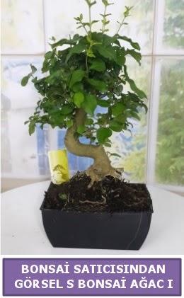 S dal eğriliği bonsai japon ağacı  Iğdır 7 kasım çiçekçiler