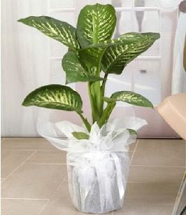 Tropik saksı çiçeği bitkisi  Iğdır 7 kasım çiçekçiler