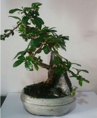 S şeklinde ithal bonsai ağacı  Iğdır 12 eylül çiçekçi mağazası