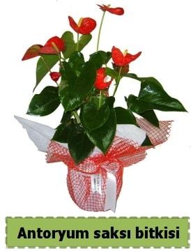 Antoryum saksı bitkisi satışı  Iğdır Konaklı internetten çiçek siparişi