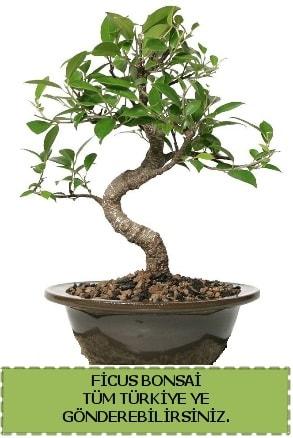Ficus bonsai  Iğdır 14 kasım hediye çiçek yolla