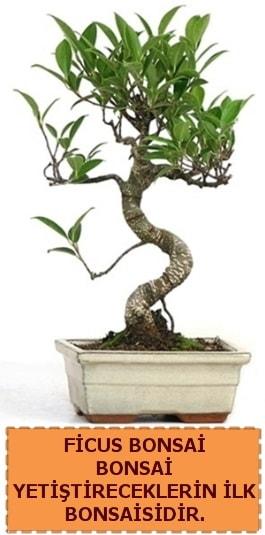Ficus bonsai 15 ile 25 cm arasındadır  Iğdır 12 eylül çiçekçi mağazası