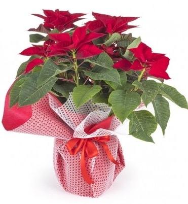 Atatürk çiçeği saksı bitkisi  Iğdır 14 kasım hediye çiçek yolla