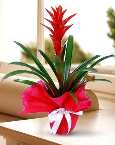 Guzmanya Saksı Çiçeği  Iğdır 12 eylül çiçekçi mağazası