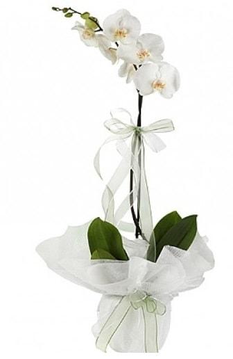 Tekli Beyaz Orkide  Iğdır Aşağı erhacı online çiçek gönderme sipariş