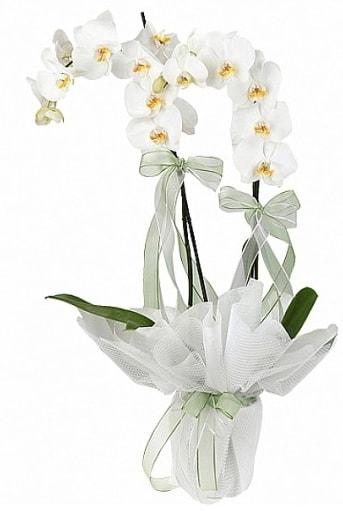 Çift Dallı Beyaz Orkide  Iğdır çiçek yolla yurtiçi ve yurtdışı çiçek siparişi