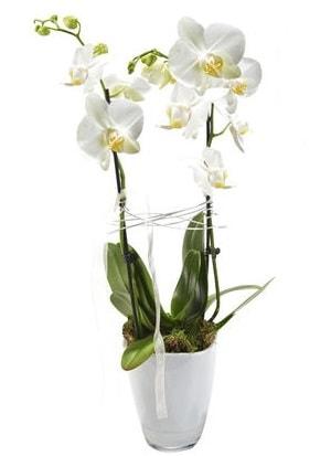 2 dallı beyaz seramik beyaz orkide saksısı  Iğdır 14 kasım hediye çiçek yolla