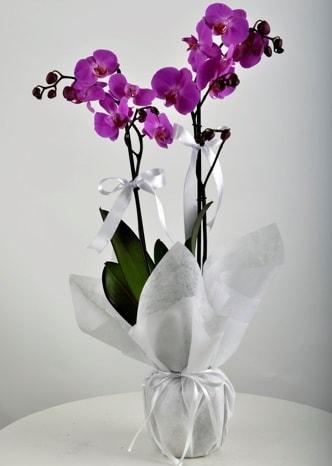 Çift dallı saksıda mor orkide çiçeği  Iğdır Özdemir hediye sevgilime hediye çiçek