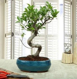 Amazing Bonsai Ficus S İthal  Iğdır Melekli anneler günü çiçek yolla