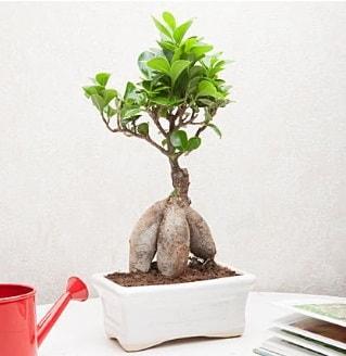 Exotic Ficus Bonsai ginseng  Iğdır Aralık İnternetten çiçek siparişi