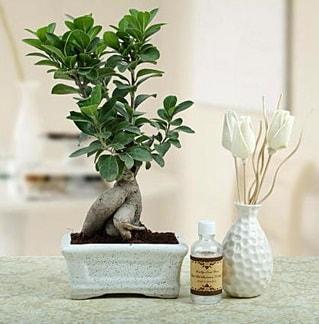 Ginseng ficus bonsai  Iğdır Akyumak 14 şubat sevgililer günü çiçek