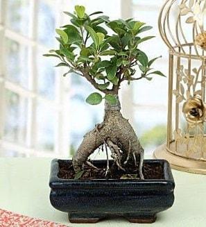 Appealing Ficus Ginseng Bonsai  Iğdır çiçek yolla yurtiçi ve yurtdışı çiçek siparişi