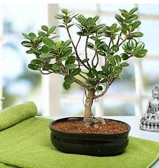 Lovely Ficus Iceland Bonsai  Iğdır çiçek yolla yurtiçi ve yurtdışı çiçek siparişi
