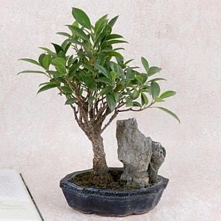 Japon ağacı Evergreen Ficus Bonsai  Iğdır 14 kasım hediye çiçek yolla