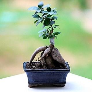 Marvellous Ficus Microcarpa ginseng bonsai  Iğdır Özdemir hediye sevgilime hediye çiçek