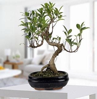 Gorgeous Ficus S shaped japon bonsai  Iğdır Kışla çiçekçi telefonları