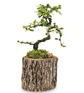 Doğal kütükte S bonsai ağacı  Iğdır 7 kasım çiçekçiler